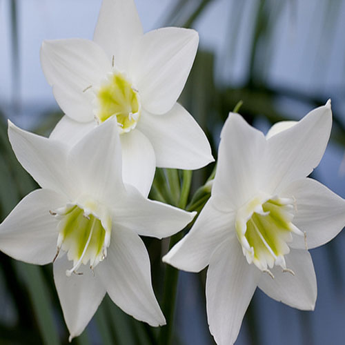 Eucharis Lily